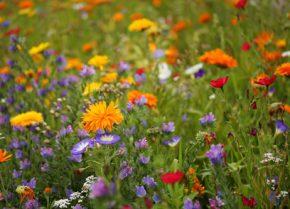 Blumenwiese – Fachberatertipp