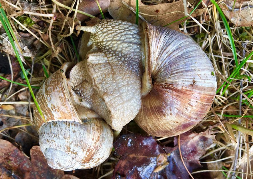Naturnah gärtnern - Artenvielfalt Weinbergschnecken