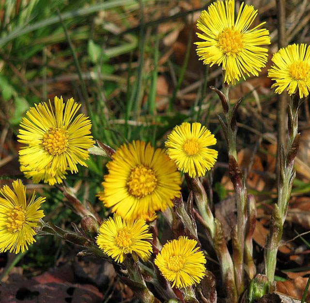 Huflattich - Artenvielfalt im Kleingarten