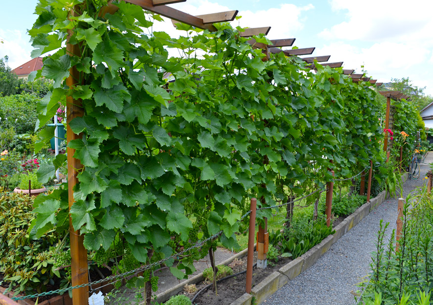 Weinanbau - Gartennutzung