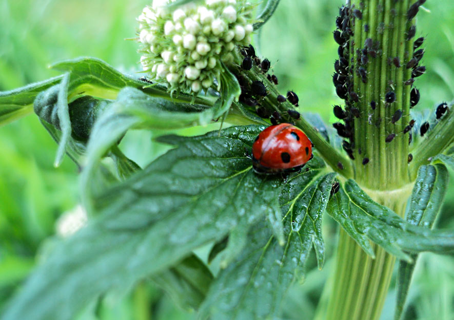Blattläuse - Nahrung für Marienkäfer