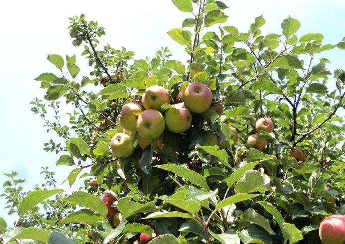Obstbäume - Früchte ernten und Schattenspender