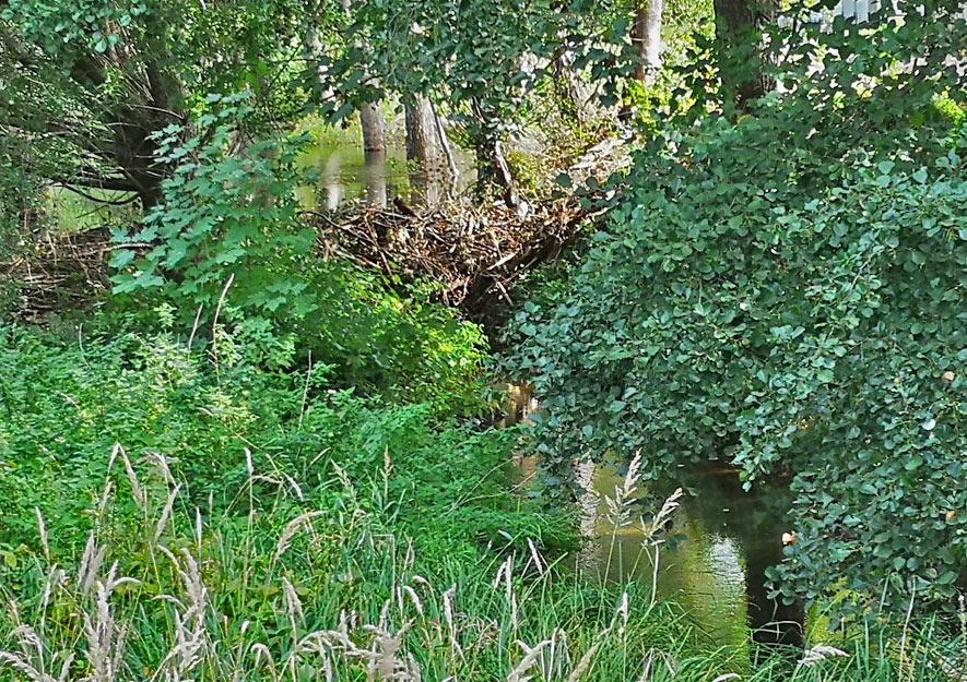 Biberburgen überfluten Schleifbach