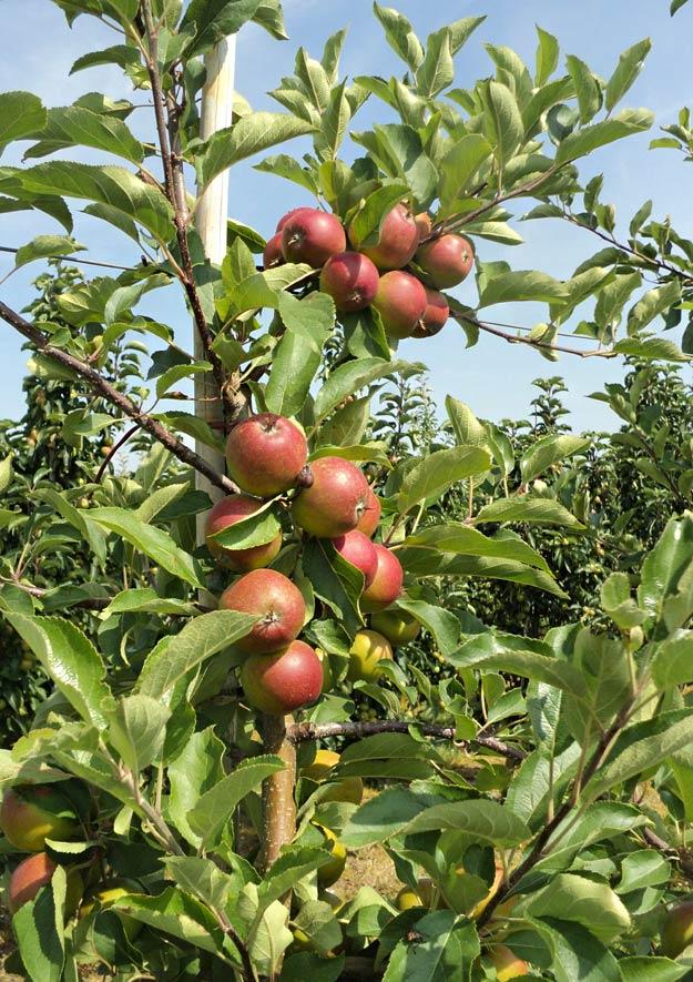 Schwerstarbeit für Obstbäume mit Früchten