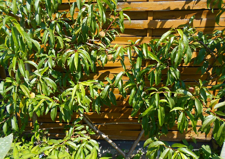Pfirsichbäume mögen Hitze
