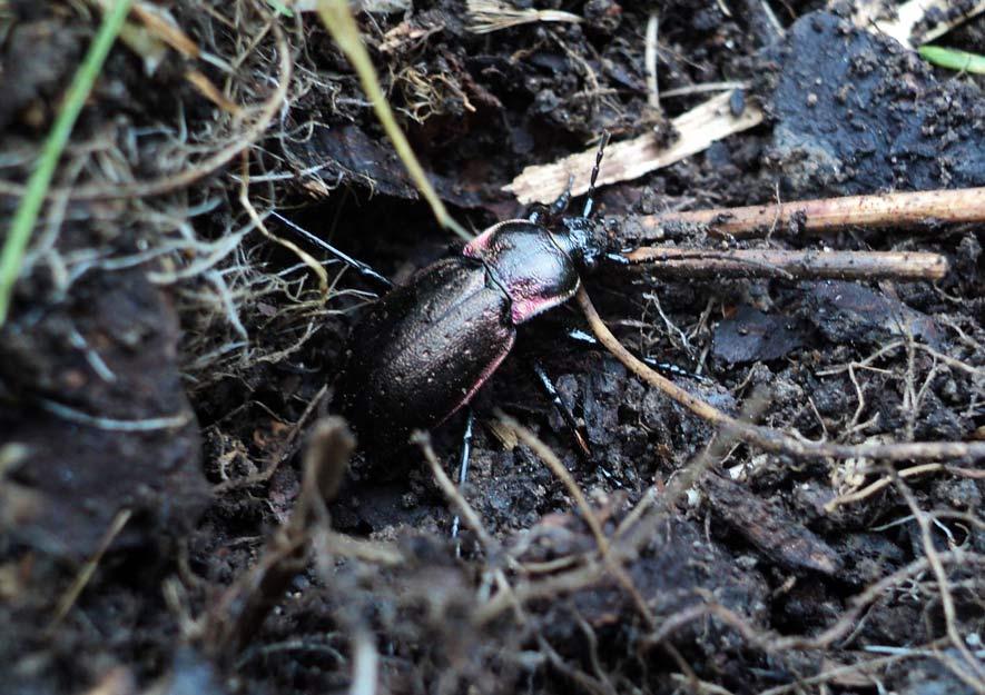 Gartennützling - Laufkäfer im Unterholz