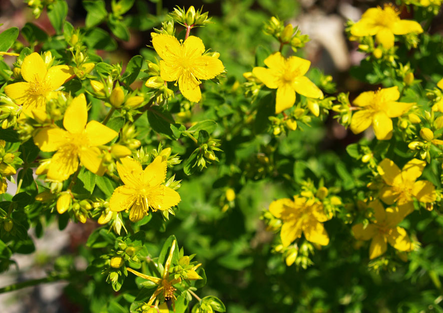 Johanniskraut - Altes Gartenwissen und Gärtnerweisheiten