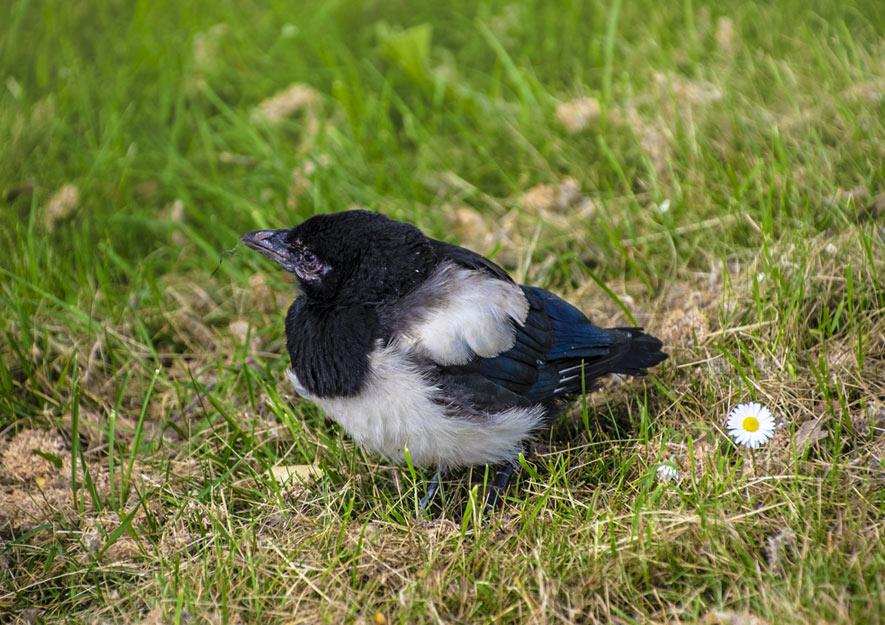 Elster-Jungvogel im Kleingarten