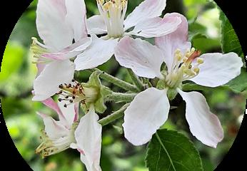 Essbare Blüten im Kleingarten - Apfelblüte