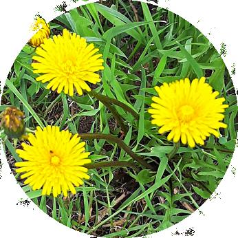 Essbare Blüten im Kleingarten - Löwenzahnblüte