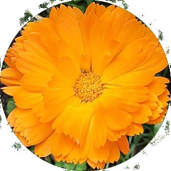 Essbare Blüten im Kleingarten - Ringelblume