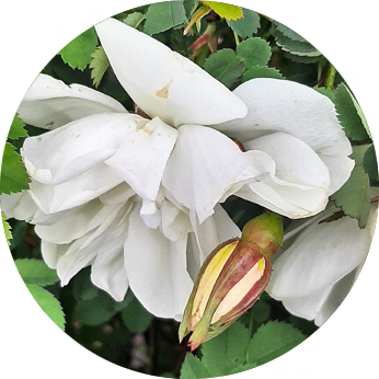 Essbare Blüten im Kleingarten - Rosenblüte