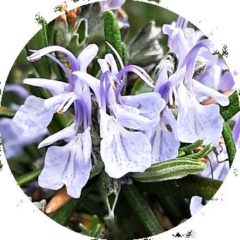 Essbare Blüten im Kleingarten - Rosmarinblüten