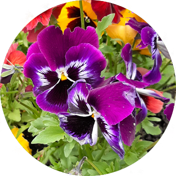 Essbare Blüten im Kleingarten - Stiefmütterchen