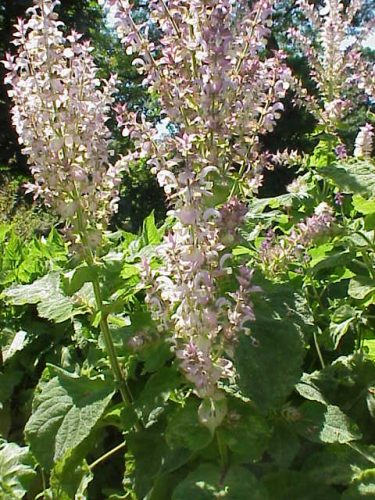 Muskat-Salbei - Lippenblütengewächse (Lamiaceae)