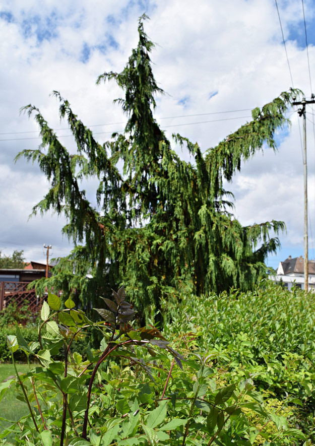 Nadelbäume im Kleingarten